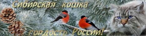 Сибирская кошка - гордость России!